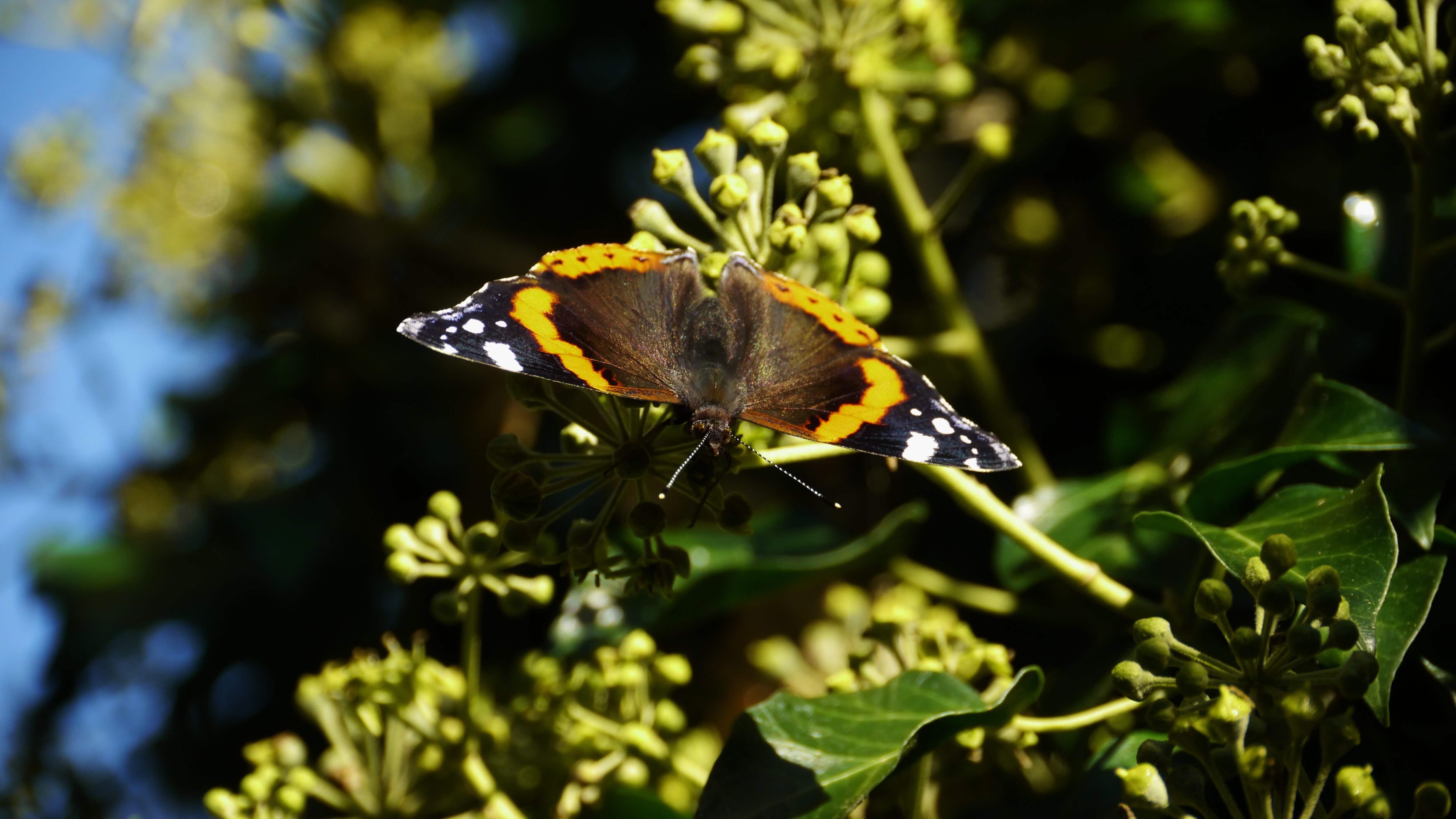 Atalanta vlinderfotografie