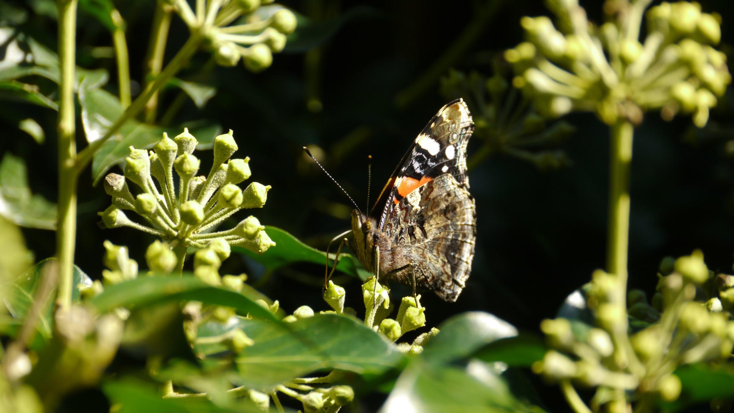 Atalanta onderzijde vlinderfotografie