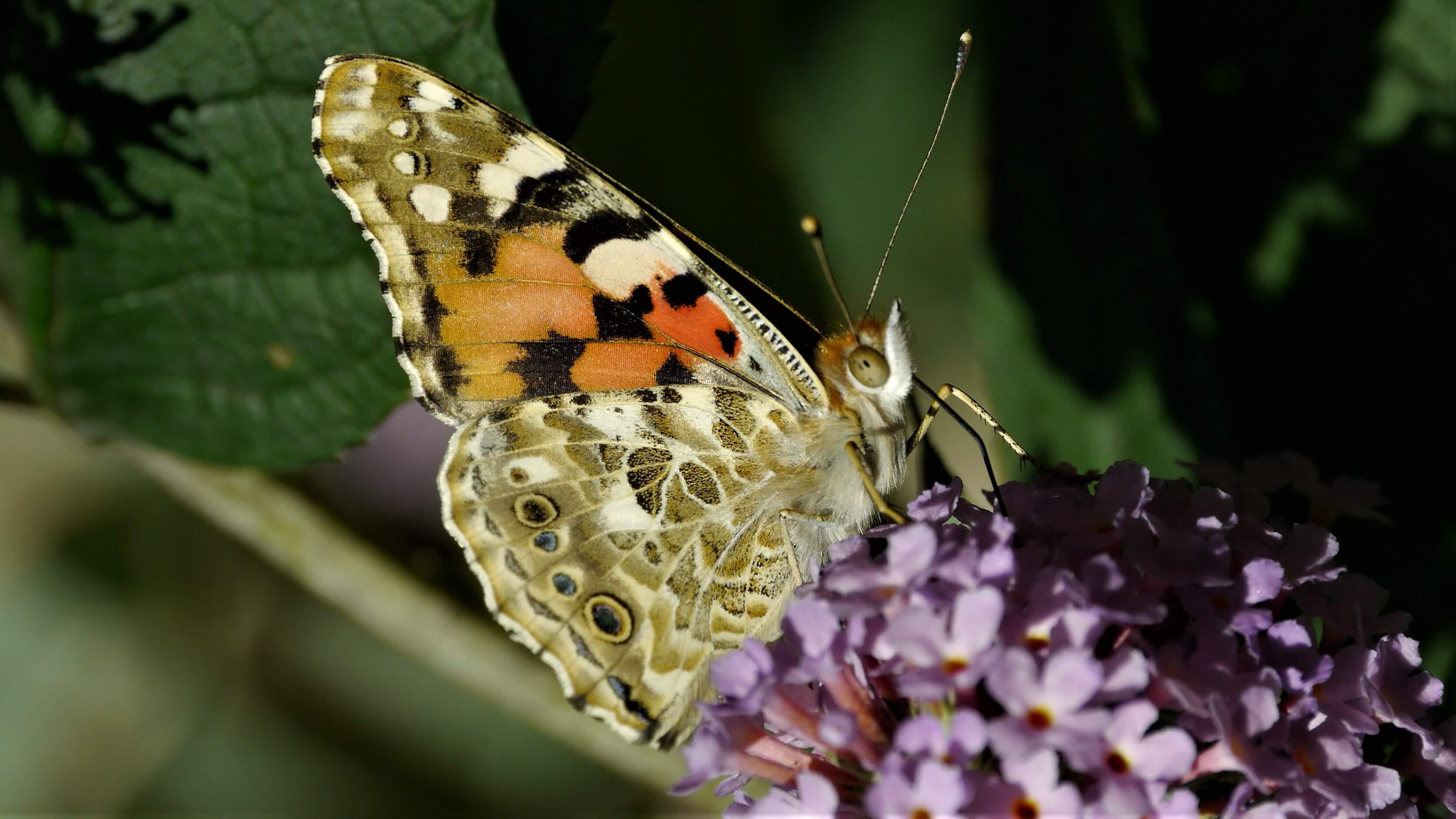 Distelvlinder vlinderfotografie
