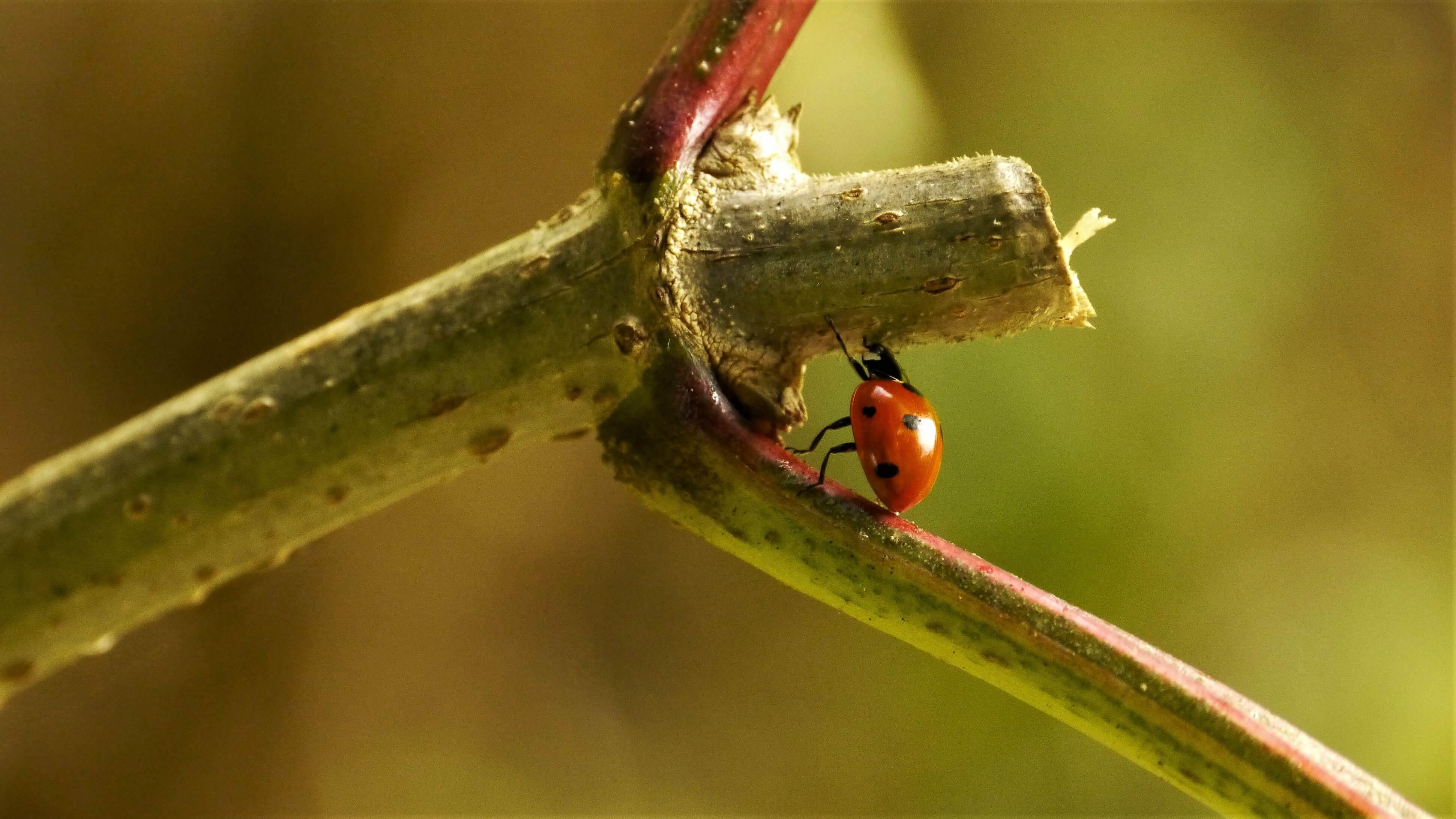 Lieveheersbeestje insectenfotografie