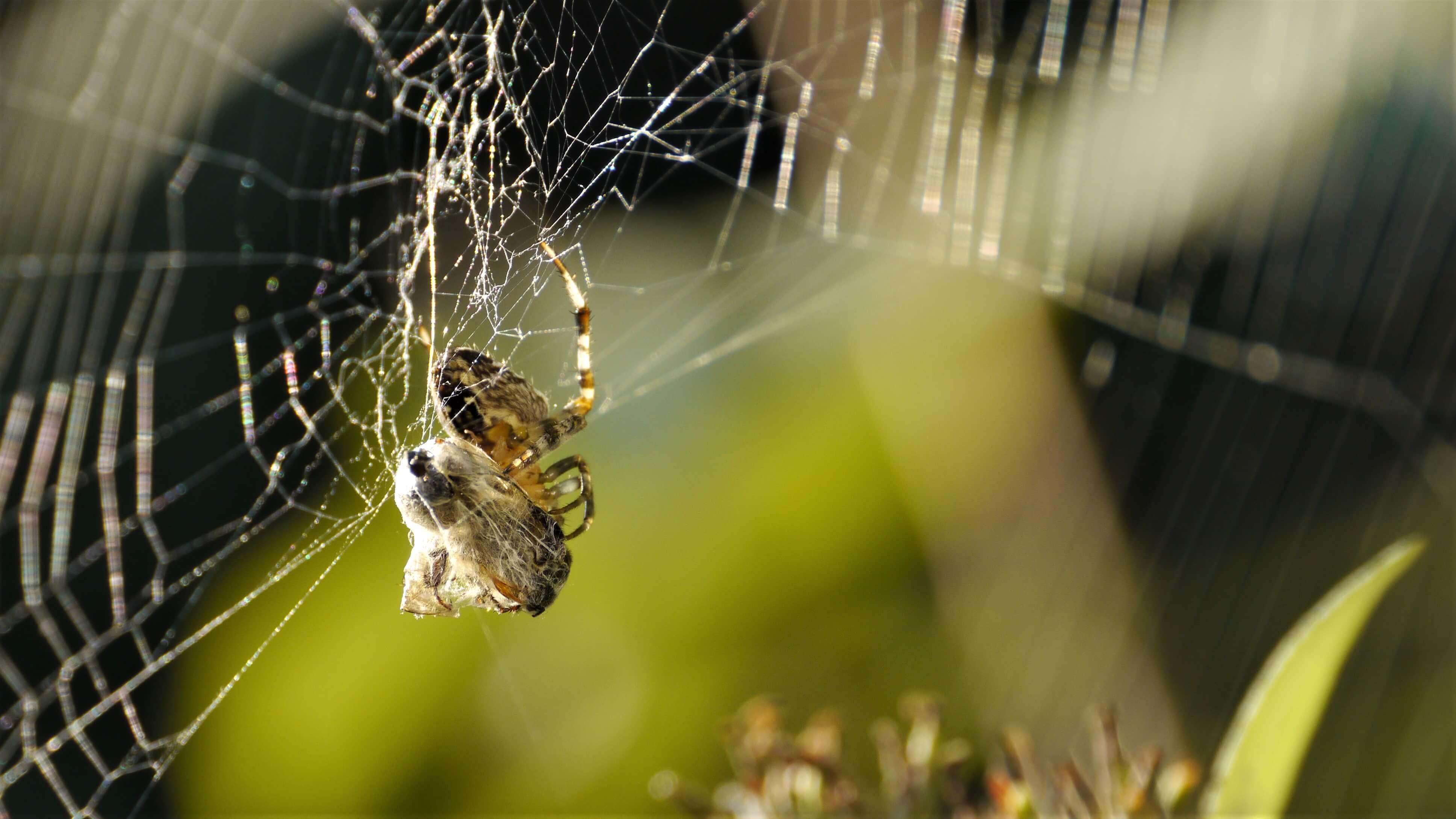 Kruisspin met prooi spinnenfotografie