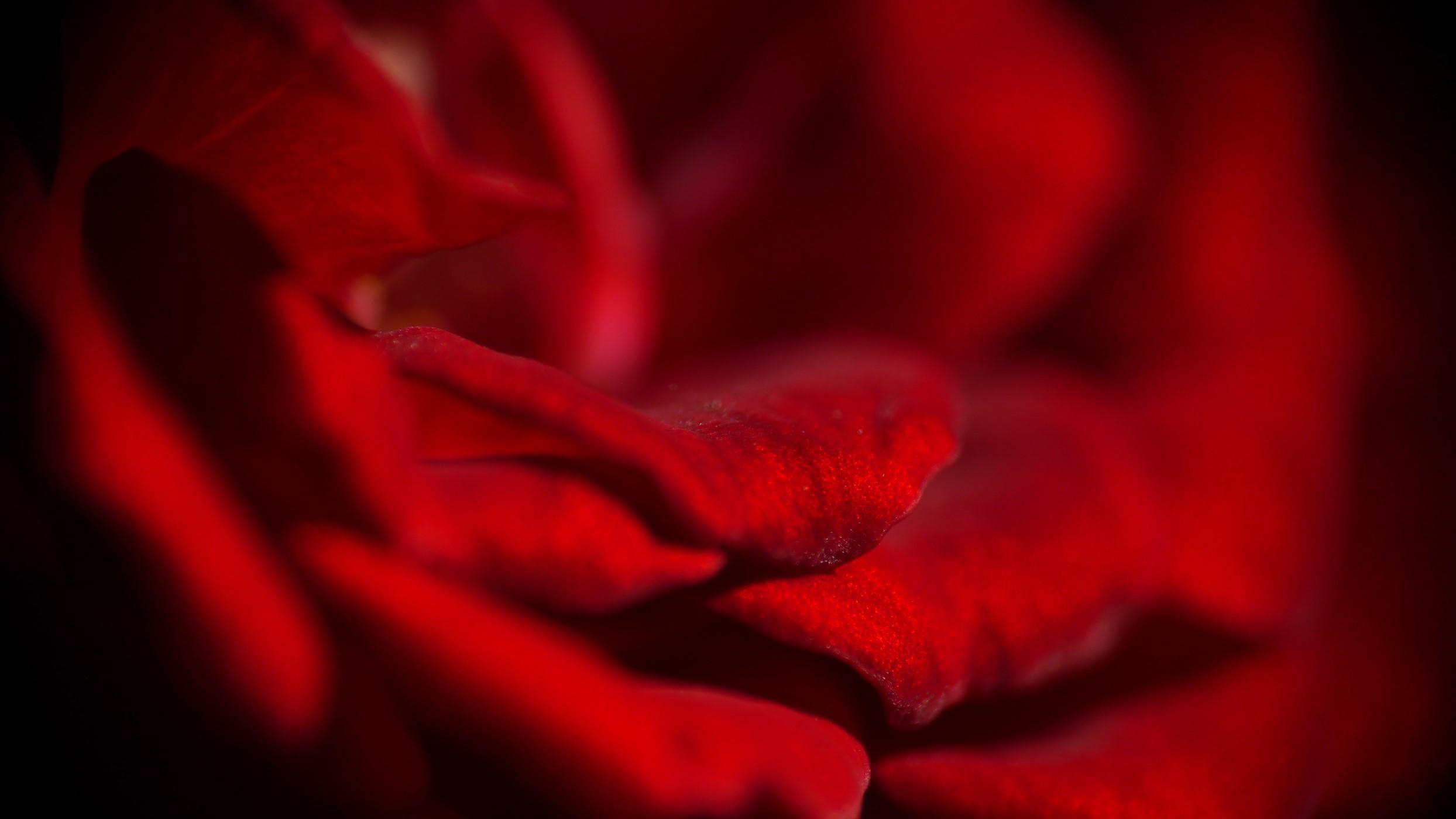 Roos macrofotografie