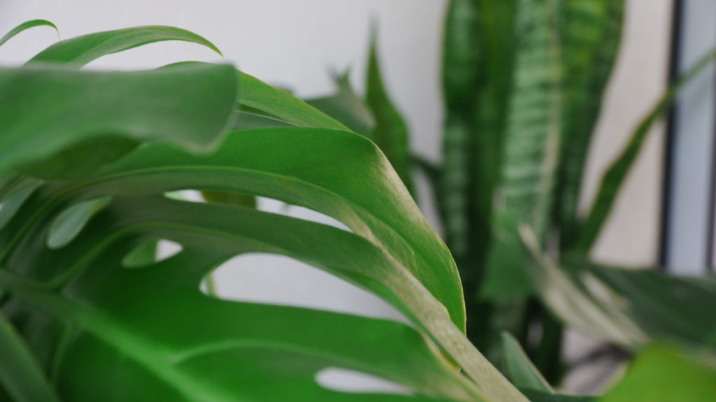 Monstera en Sanseveria